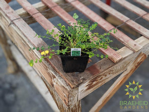 Herb Salad Burnet - NO SHIP -