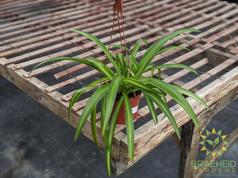 Hawaiian Spider Plant Hanging Basket
