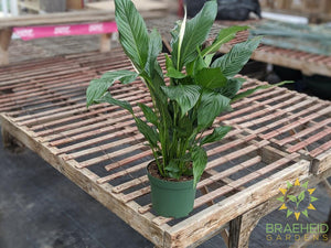 Large Peace Lily Compacto - NO SHIP