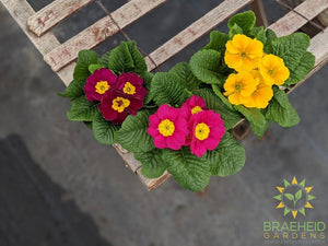 Primrose (Assorted Colors)