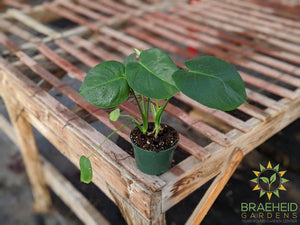 Order medium Split Leaf Philodendron online in Canada