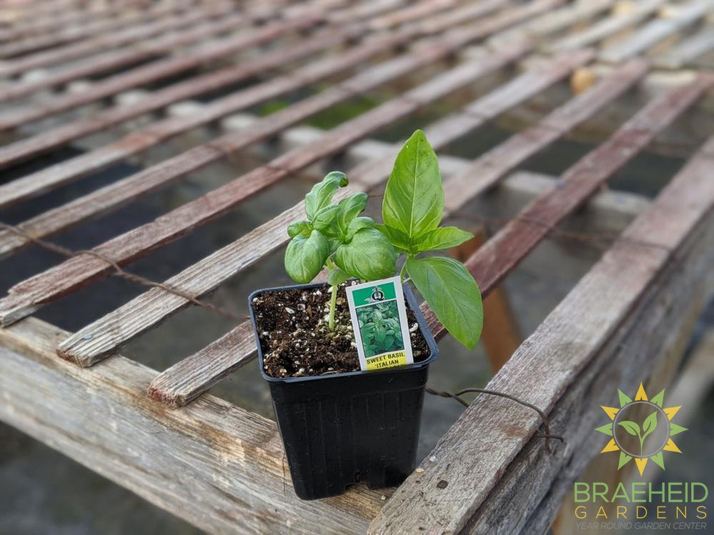 Herb Sweet Large Leaf Basil - NO SHIP -