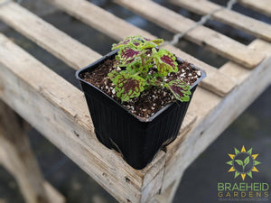Coleus Colorblaze Chocolate Drop PW - NO SHIP -