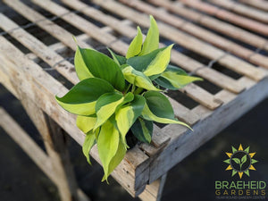 Buy Brazil Philodendron online in Canada