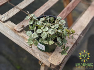 Order Hoya Curtisii Canada wide Shipping