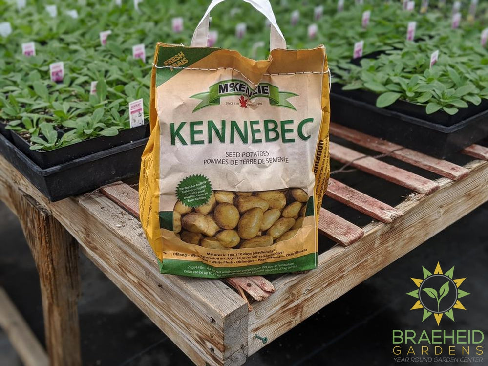 Kennebec McKenzie Potatoes