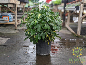Large Schefflera Gold Capella