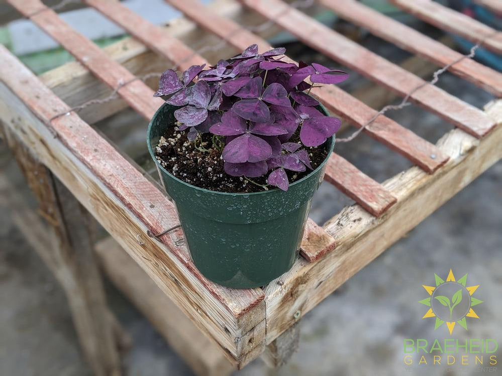 Purple Oxalis ( Shamrock)