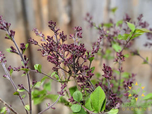 Bloomerang® Dark Purple Lilac