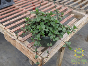 Herb Chocolate Mint Hanging Basket