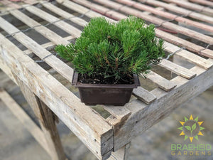 Japanese Stone Pine Bonsai