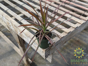 Dragon Tree Colorama Red - Dracaena Marginata
