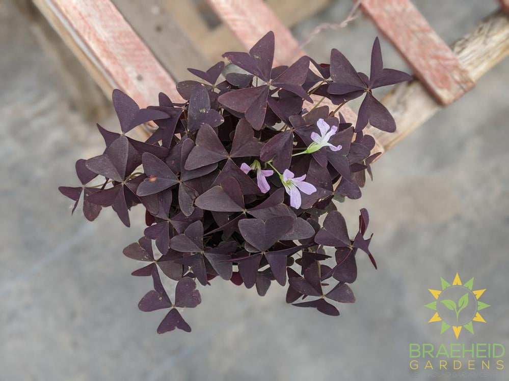 Ebony Allure Oxalis