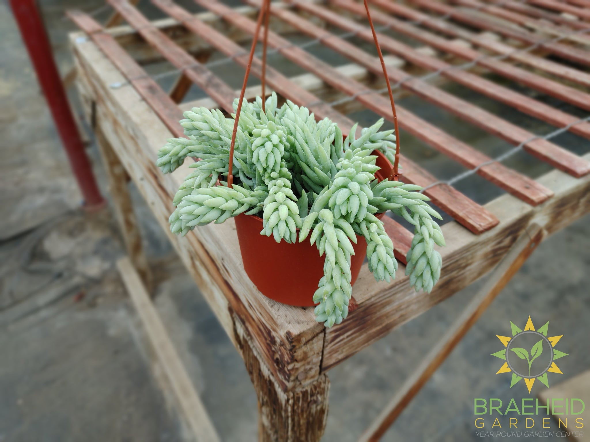 Pointy Burros Tail Hanging Basket