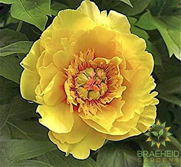Sequestered Sunshine Itoh Peony - NO SHIP -