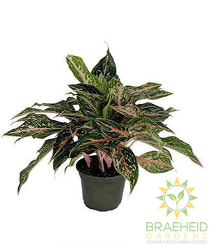 Sparkling Sarah Chinese Evergreen