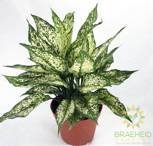 Spring Snow Chinese Evergreen