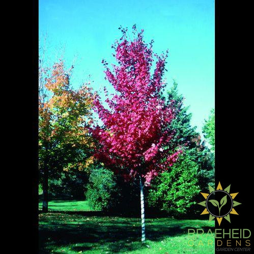 Autumn Spire Red Maple