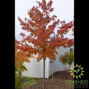 Scarlet Jewel™ Maple