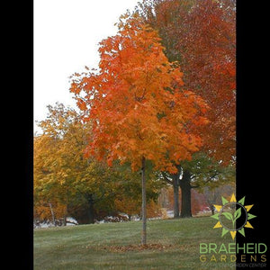 Fall Fiesta® Sugar Maple