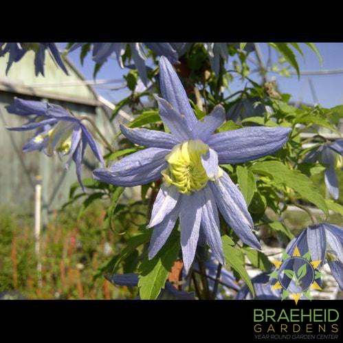Blue Bird Clematis