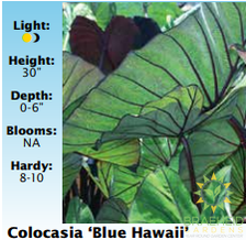 Colocasia Blue Hawaii