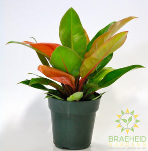 Large Prince of Orange Philodendron - NO SHIP