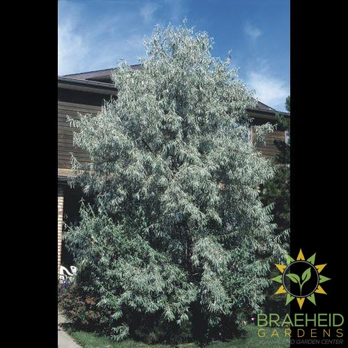 Russian Olive Shrub