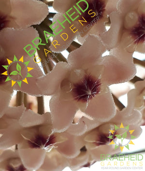 Hoya Krimson Queen Flower | Buy online Photo: @Plant_grl instagram