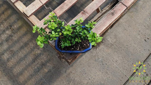 Japanese Dwarf Holly Bonsai