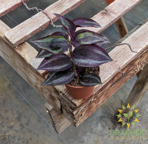 Red Wandering Jew