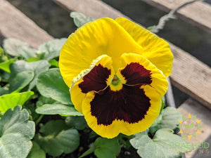 Pansy Delta Premium 'Yellow W/ Blotch' - NO SHIP -