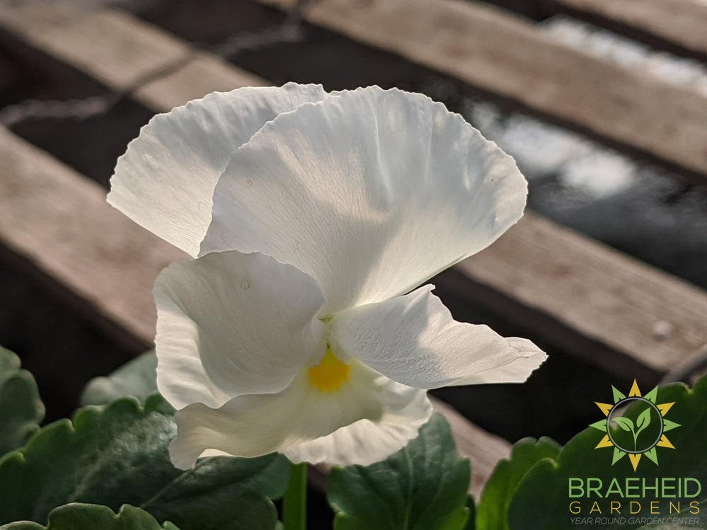 Pansy Delta Premium 'Pure White' - NO SHIP -