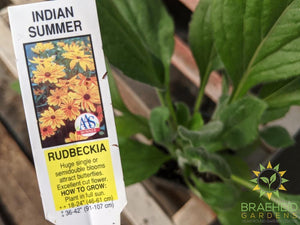 Rudbeckia 'Indian Summer' - NO SHIP -