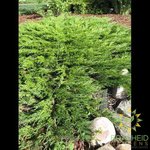 Calgary® Carpet Juniper