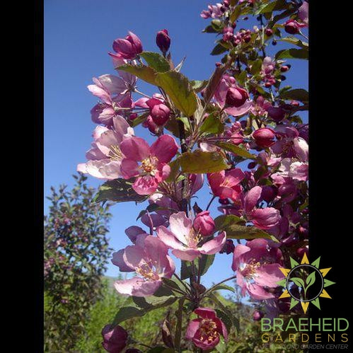 Thunderchild Flowering Crabapple
