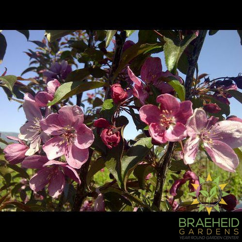 Gladiator® Rosybloom Crabapple