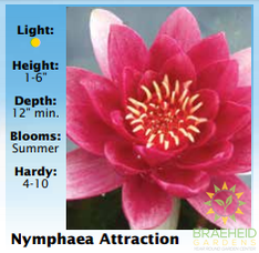 Nymphaea Red Attraction