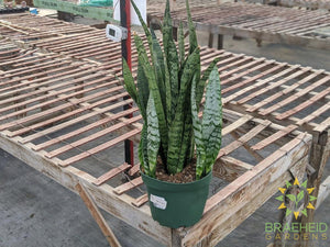 Large Sansevieria Snake Plant - NO SHIP -