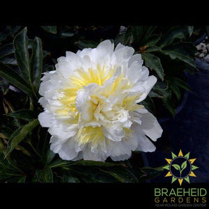 Honey Gold Peony - NO SHIP -