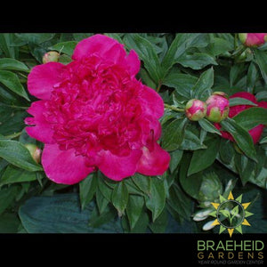Red Charm Peony - NO SHIP -