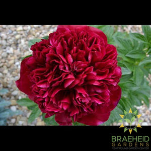 Red Memorial Day Peony - NO SHIP -