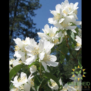 Blizzard Mock Orange