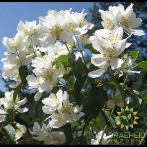 Waterton's Mock Orange