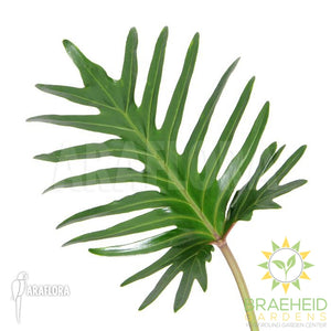 Large Xanadu Philodendron - NO SHIP