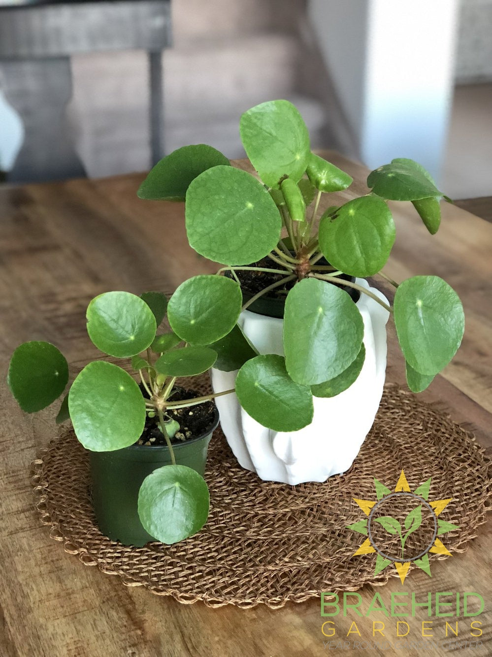 BUY RARE Pilea peperomioides online | FREE SHIPPING