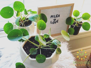 Pilea coin plant available for shipping across Canada