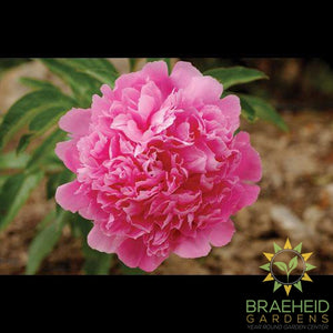 Pink Memorial Day Peony - NO SHIP -
