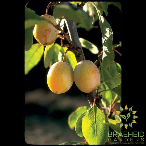 Brookgold Plum
