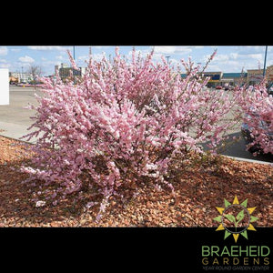 Double Flowering Plum
